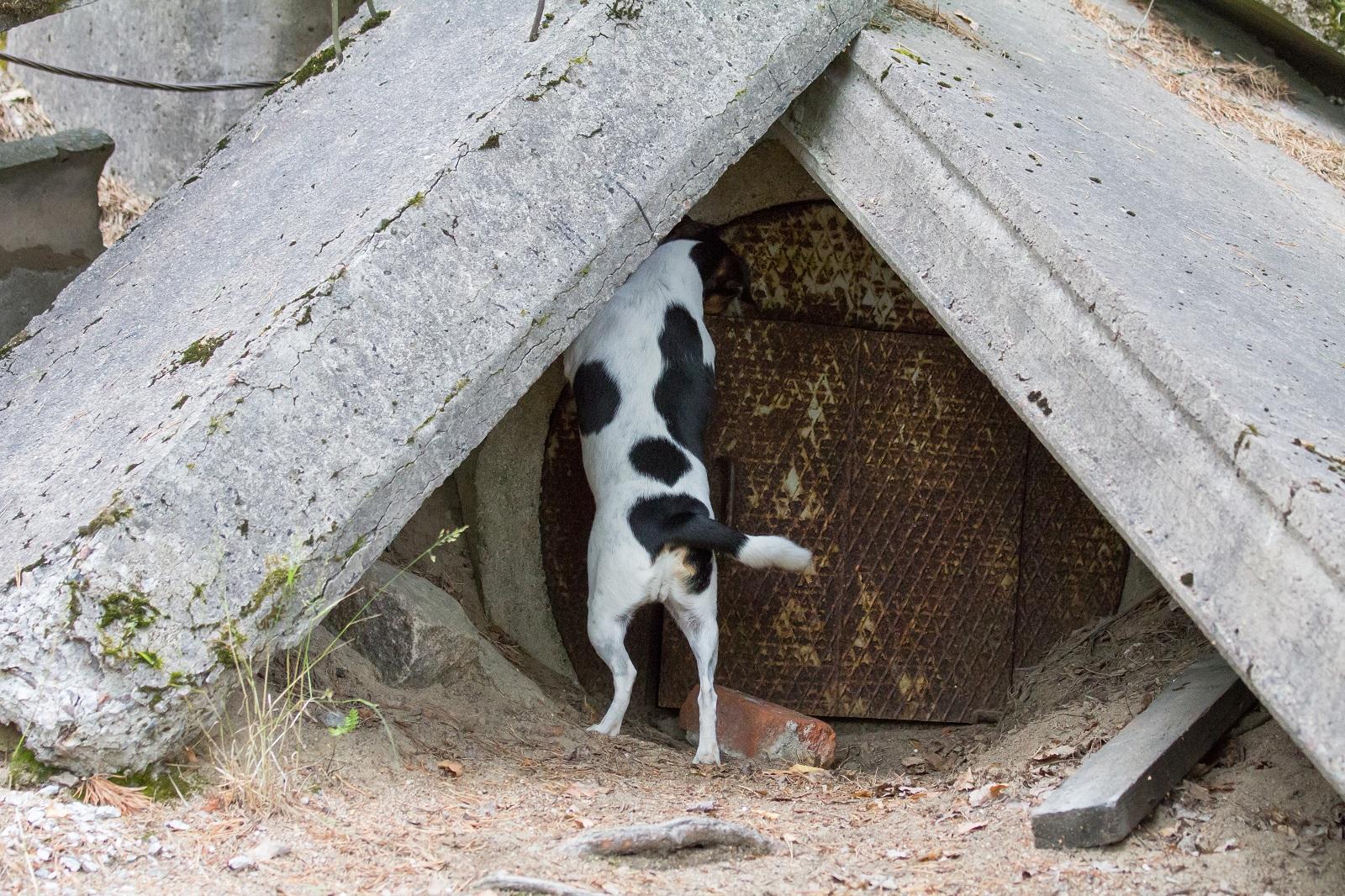 Tanskalais-ruotsalainen pihakoira Lilli tunkeutuu piiloon. Kuva: Elisa Reunanen.